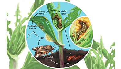 To manage fall armyworm, it helps to understand its lifecycle
